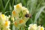 Honeycomb Pollen Street Secured Lending HIT PSSL Money bee